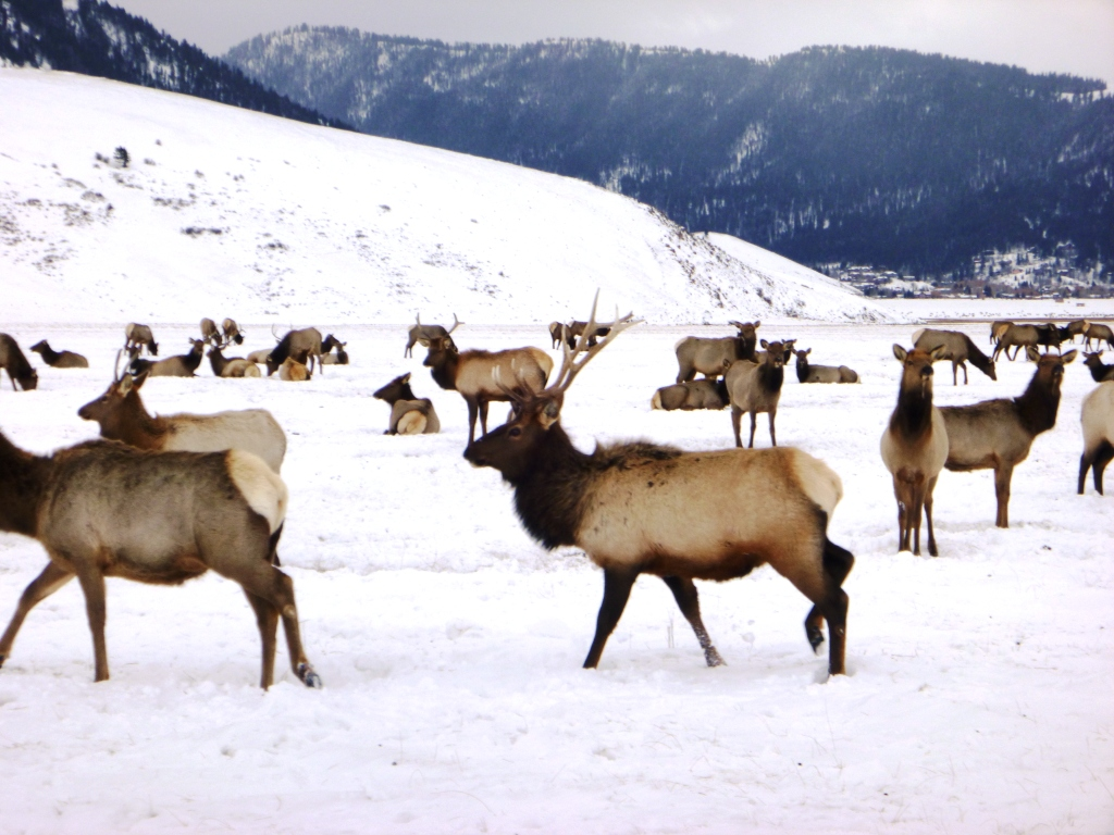 National Elk Refuge sleigh ride in Jackson Wyoming
