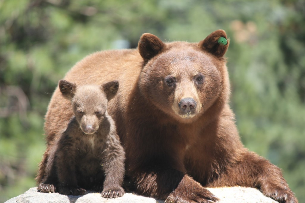 Sow and her cub two weeks ago, below Job's Peak, NV.