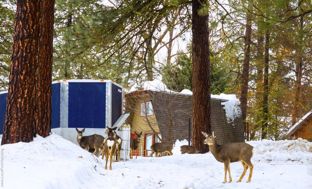 McCall Idaho Burgdorf Hot Springs Town Deer