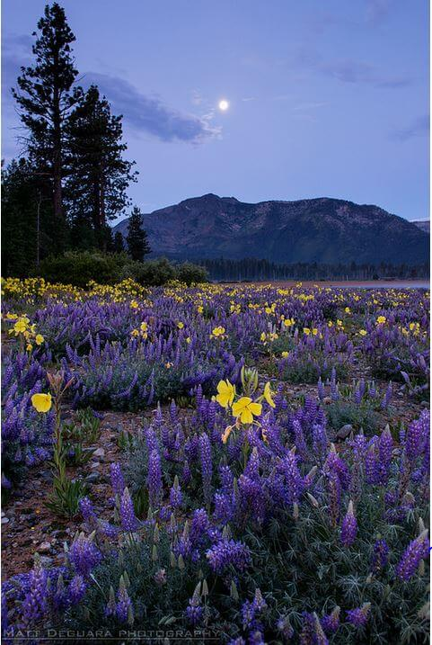 best places to see wildflowers Lake Tahoe moonlight colorful spring summer hiking