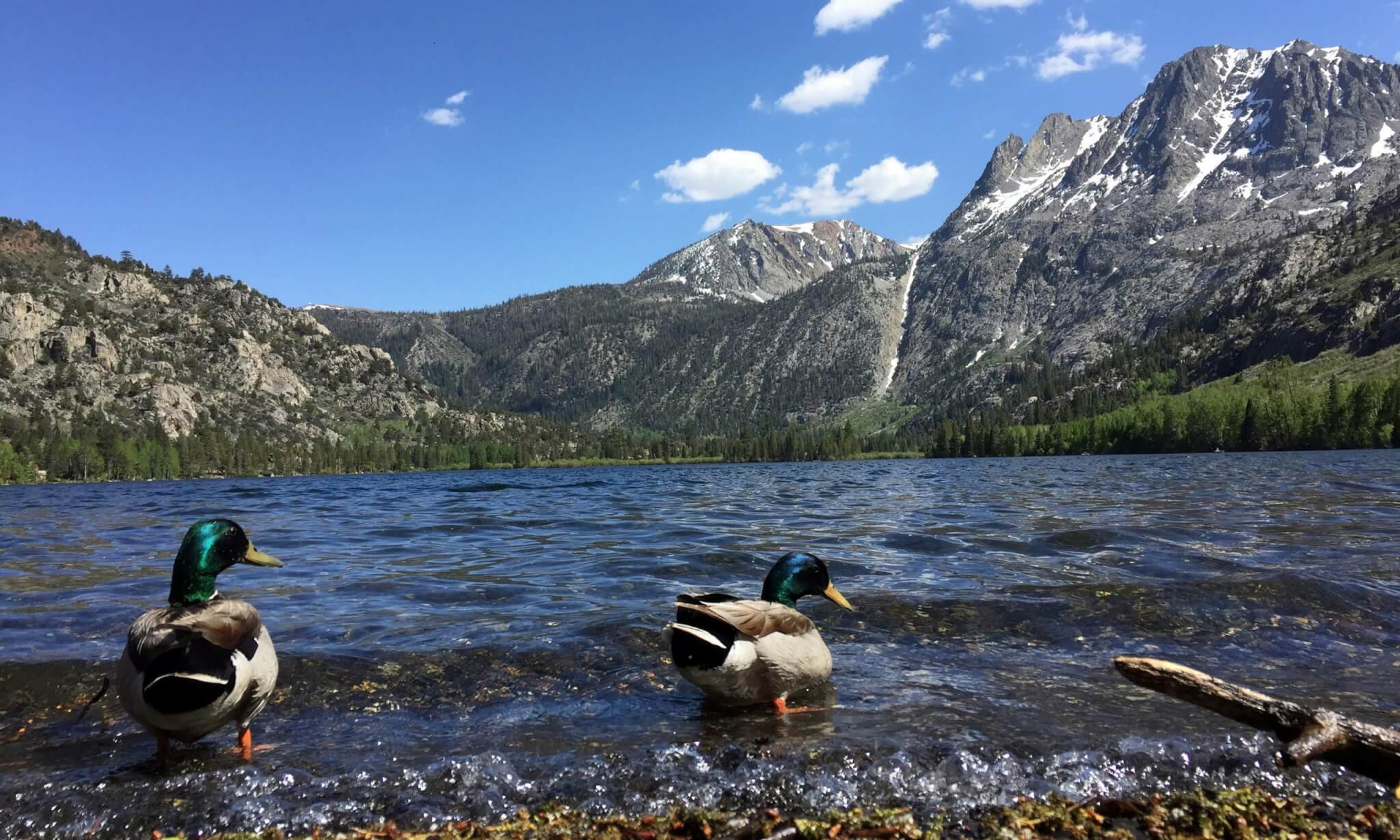 Ducks on June Lake Loop in the summer