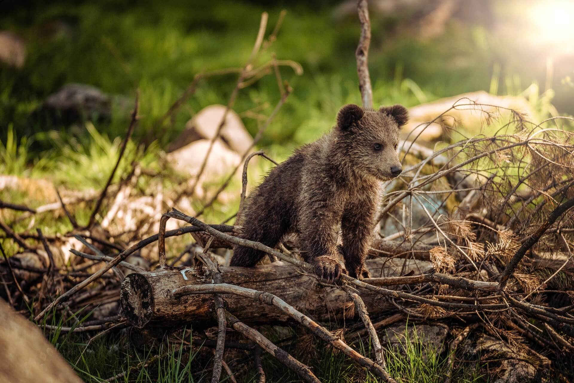 cute bear cub in the woods - bear safety